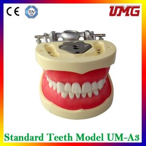 Durable Dental Teaching Study Model for Sale pictures & photos