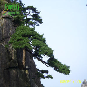 Widely Used Pine Bark Powder pictures & photos