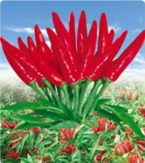Uranus No. 3 Chili Pepper Seed