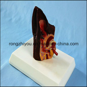 Biological Teaching Anatomical Animal Ear Model Dog Sick and Health Ear Model pictures & photos