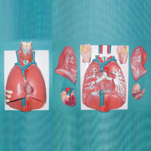 Natural Size Human Throat Heart Lung Anatomic Model