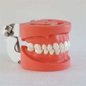 Standard Teeth Model Dental Teeth Model (28PCS, Hard Gum, Screw fix) pictures & photos