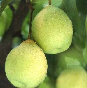 Fresh Delicious Chinese Green Ya Pear Hot Sale pictures & photos