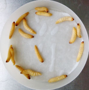 Live Insect Galleria Mellonella Larvae for Sale pictures & photos