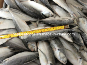 Frozen Hard Tail Scad Fish 16cm+ pictures & photos