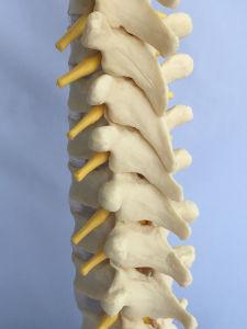 Natural Size Human Thoracic Vertebra Skeleton Medical Model (R020710) pictures & photos