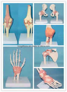 Human Anatomical Knee Joint Medical Model with Ligaments pictures & photos