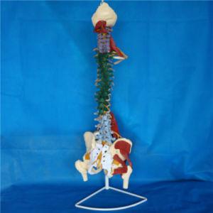 Medical Teaching Human Spine Vertebra Skeleton Simulator Model (R020706) pictures & photos