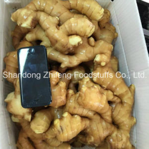 Manufacturing Fresh Ginger pictures & photos