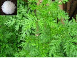 Artemisia Annua L Extract Artemisinin CAS No.: 63968-64-9 pictures & photos