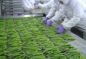 Frozen Asparagus Brc, ISO, FDA, HACCP, Kosher, Gap