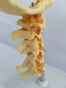 Medical Teaching Natural Size Cervical Skeleton (R020703) pictures & photos