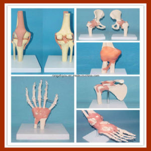 Human 6 Joint with Muscle and Ligament Painted Teaching Anatomical Model pictures & photos