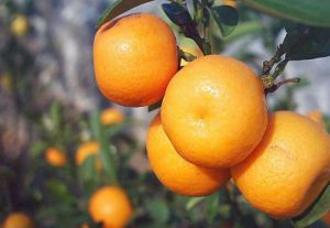 10kgs/Carton Top Quality Chinese Fresh Mandarin Orange pictures & photos