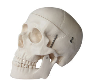 Human Skull Model, Natural Size Skull pictures & photos