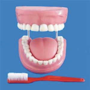 Medical Teaching Dental Care Human Teeth Model (R080108) pictures & photos