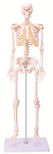 85cm Mini Human Skeleton