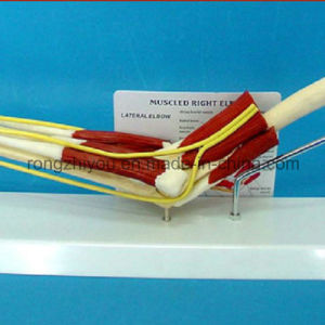 Hot Sale Natural Size Elbow Joint with Functional Muscles Anatomical Education Model pictures & photos
