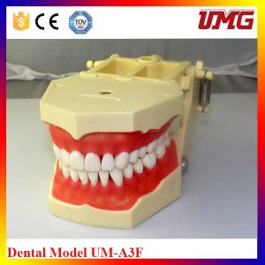 Medical Dental Models for Sale pictures & photos