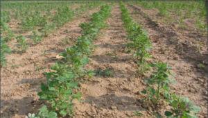 White Quinoa China Origin pictures & photos