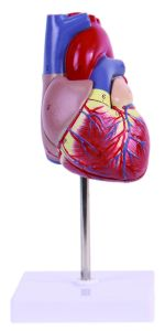 Human Heart Model, 2 Parts pictures & photos
