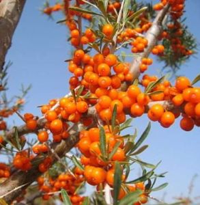 100% Natural Fructus Hippophae