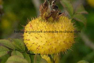 Rosa Roxburghii Extract, Cili Fruit Extract for Foods and Supplement pictures & photos