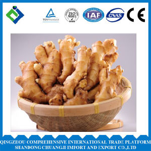 2016 China Fresh Ginger Very Popular pictures & photos