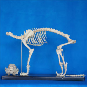 High Quality Biology Teaching Animal Dog Canine Skeleton Model (R190112) pictures & photos