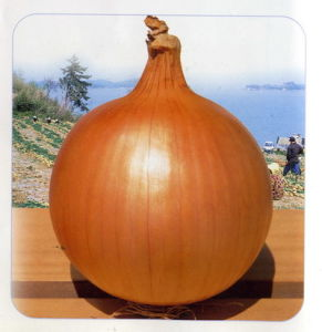 Onion (11)