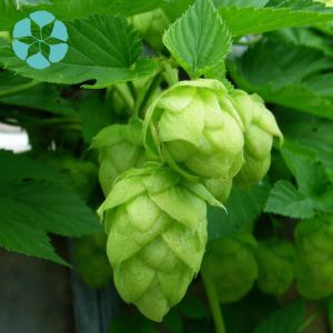 Hops Extract / Humulus Lupulus Extract / Xanthohumol pictures & photos