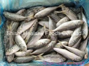 20cm+ New Arrive Good Mackerel (Horse Mackerel) pictures & photos