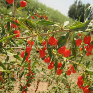 Medlar Lbp Organic Food Red Dried Gojiberry pictures & photos