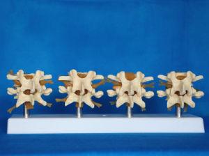 Human Spine Lumbar Medical Anatomy Skeleton Model (R020704) pictures & photos