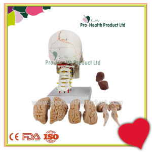 Detachable Brain Numbered Skull Model With Cervical Vertebral Column pictures & photos