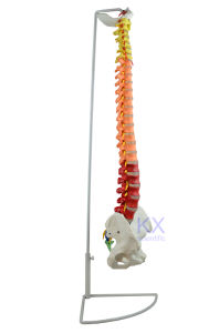 Flexible Spinal Column with Colour Coded Regions