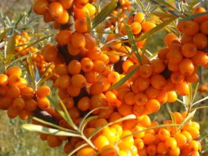 Seabuckthorn Seed Oil pictures & photos
