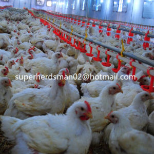Automatic Poultry Feeders and Drinkers for Broiler Chicken pictures & photos