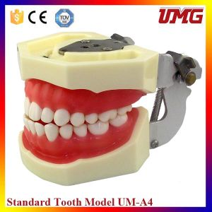 Best Selling Products Dental Teeth Model pictures & photos