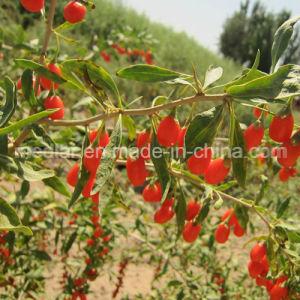 Medlar Lbp USDA Nof Organic Dried Goji pictures & photos