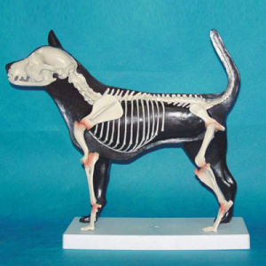 Teaching Use Dog Skeleton Animal Anatomy Model (R190109)