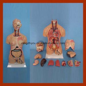 55cm Human Anatomy Double Gender Torso Model (15 PCS)