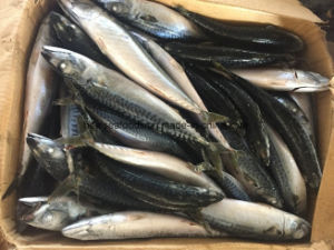 Frozen Good Quality Pacific Mackerel Fish pictures & photos