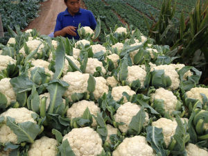 Competitive IQF Frozen Cauliflower pictures & photos