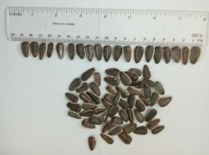 Professional Exporting New Crop 5009 Sunflower Seeds pictures & photos