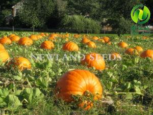 Wholesale Green Snow White Pumpkin Seeds 13cm pictures & photos