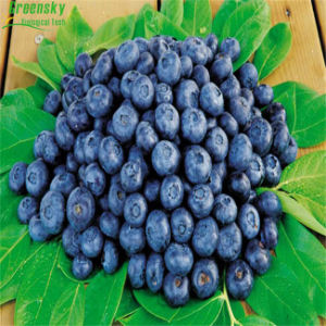 Greensky Bilberry Extract Plant Extract with 25% Anthocyanins pictures & photos