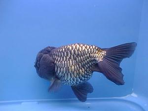 Goldfish -4