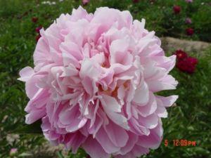 Herbaceous Tree Peony-Pink-Zhong Sheng Fen