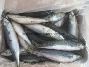 100-150g Frozen Mackerel White Belly Mackerel pictures & photos